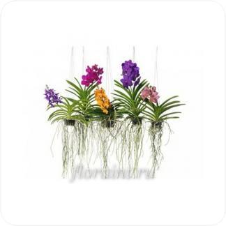 Купить Орхидеи Ванда подвесная в СПб с доставкой