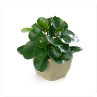 Купить Декоративно-лиственные растения Пеперомия в СПб с доставкой