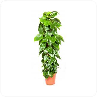 Купить Декоративно-лиственные растения Филодендрон Сканденс на опоре в СПб с доставкой