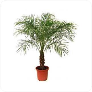 Купить Пальмы Финик робелини в СПб с доставкой