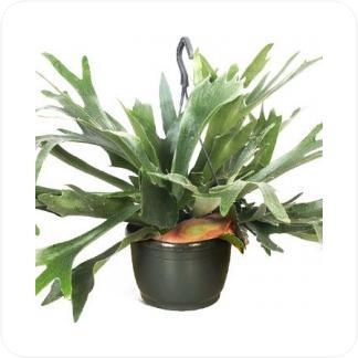 Купить Вьющиеся и ампельные растения Платицериум бифуркатум подвесной в СПб с доставкой