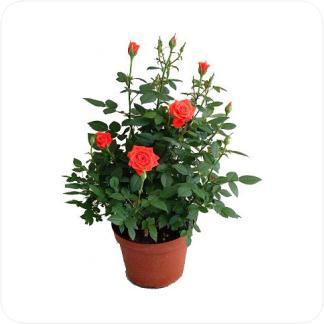 Купить Цветущие растения Роза в СПб с доставкой