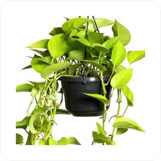 Купить Вьющиеся и ампельные растения Эпипремнум голден подвесной в СПб с доставкой