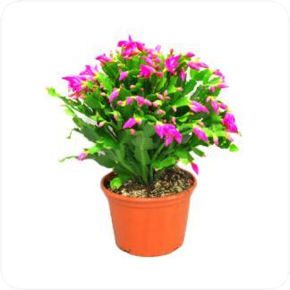 Купить Цветущие растения Шлюмбергера в СПб с доставкой