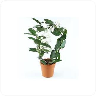 Купить Цветущие растения Стефанотис в СПб с доставкой