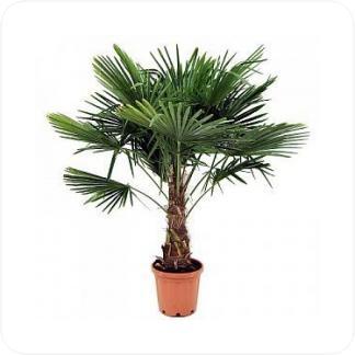 Купить Пальмы Трахикарпус Форчуна в СПб с доставкой