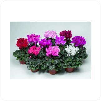 Купить Цветущие растения Цикламены (в ассортименте) в СПб с доставкой