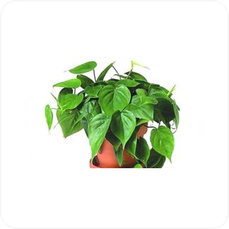 Купить Вьющиеся и ампельные растения Филодендрон подвесной в СПб с доставкой