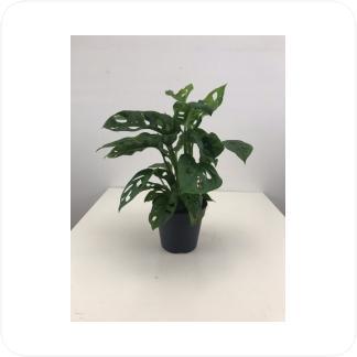 Купить Декоративно-лиственные растения Монстера Манки Мэск в СПб с доставкой