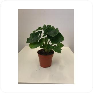 Купить Декоративно-лиственные растения Филодендрон Атом в СПб с доставкой