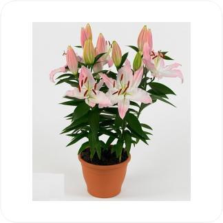 Купить Цветущие растения Лилия восточная Акустик в СПб с доставкой