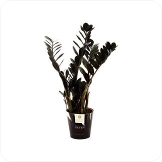 Купить Суккуленты и кактусы Замиокулькас Равен в СПб с доставкой