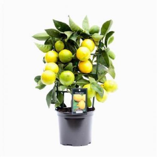 Купить Лимонное дерево 15x30 в СПб с доставкой