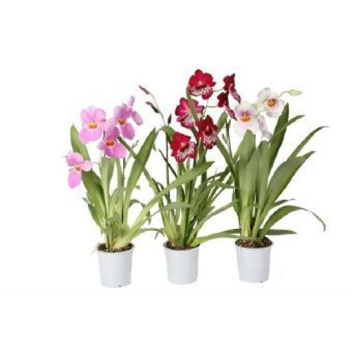 Купить Мильтония 2 цветоносца 12x45 в СПб с доставкой