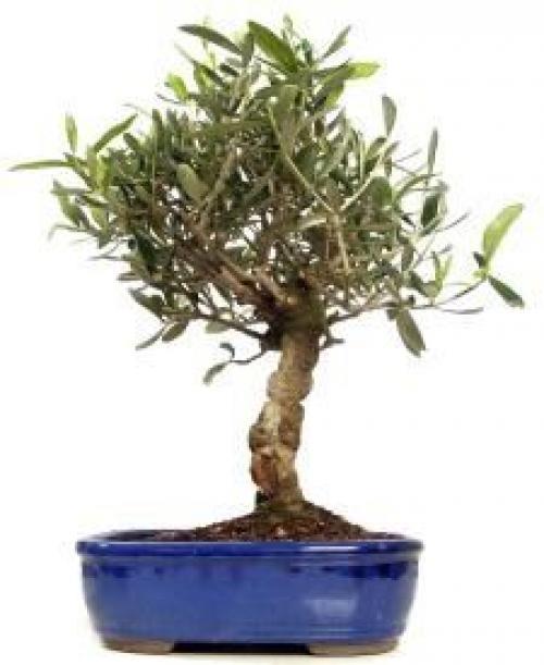 Купить Оливковое дерево 12x50 в СПб с доставкой