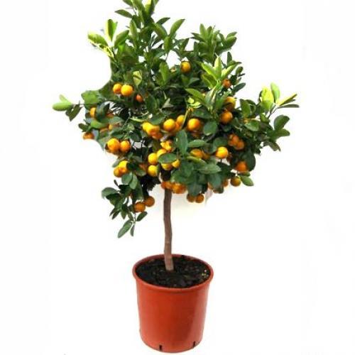 Купить Мандариновое дерево 22x80 в СПб с доставкой