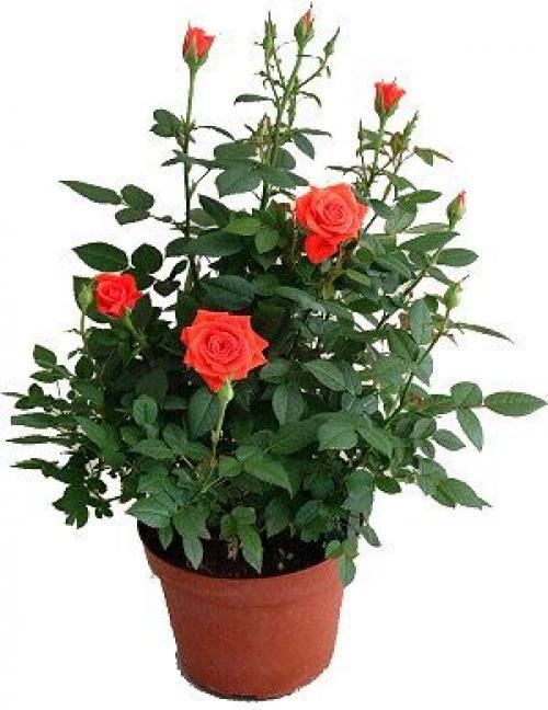 Купить Роза 10x15 в СПб с доставкой