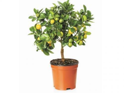 Купить Лимонное дерево 12x30 в СПб с доставкой