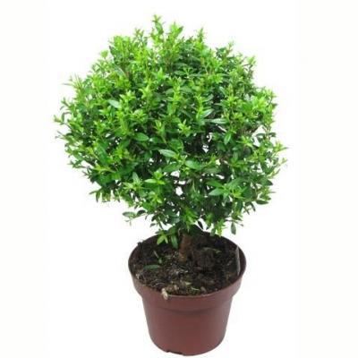 Купить Декоративно-лиственные растения Мирт в СПб с доставкой