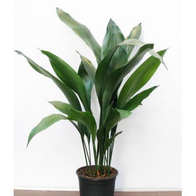 Купить Декоративно-лиственные растения Аспидистра Элатиор в СПб с доставкой