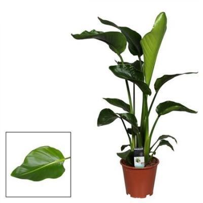 Купить Цветущие растения Стрелиция Николая в СПб с доставкой