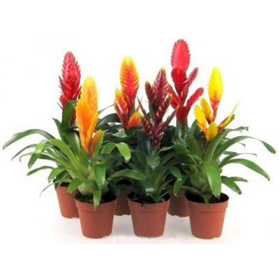 Купить Цветущие растения Вриезия Микс в СПб с доставкой