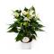Купить Антуриум Андрианум белый 12x35 в СПб с доставкой