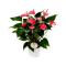 Купить Антуриум Андрианум розовый 12x35 в СПб с доставкой
